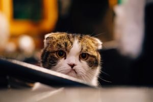 Cat looking frustrated at laptop