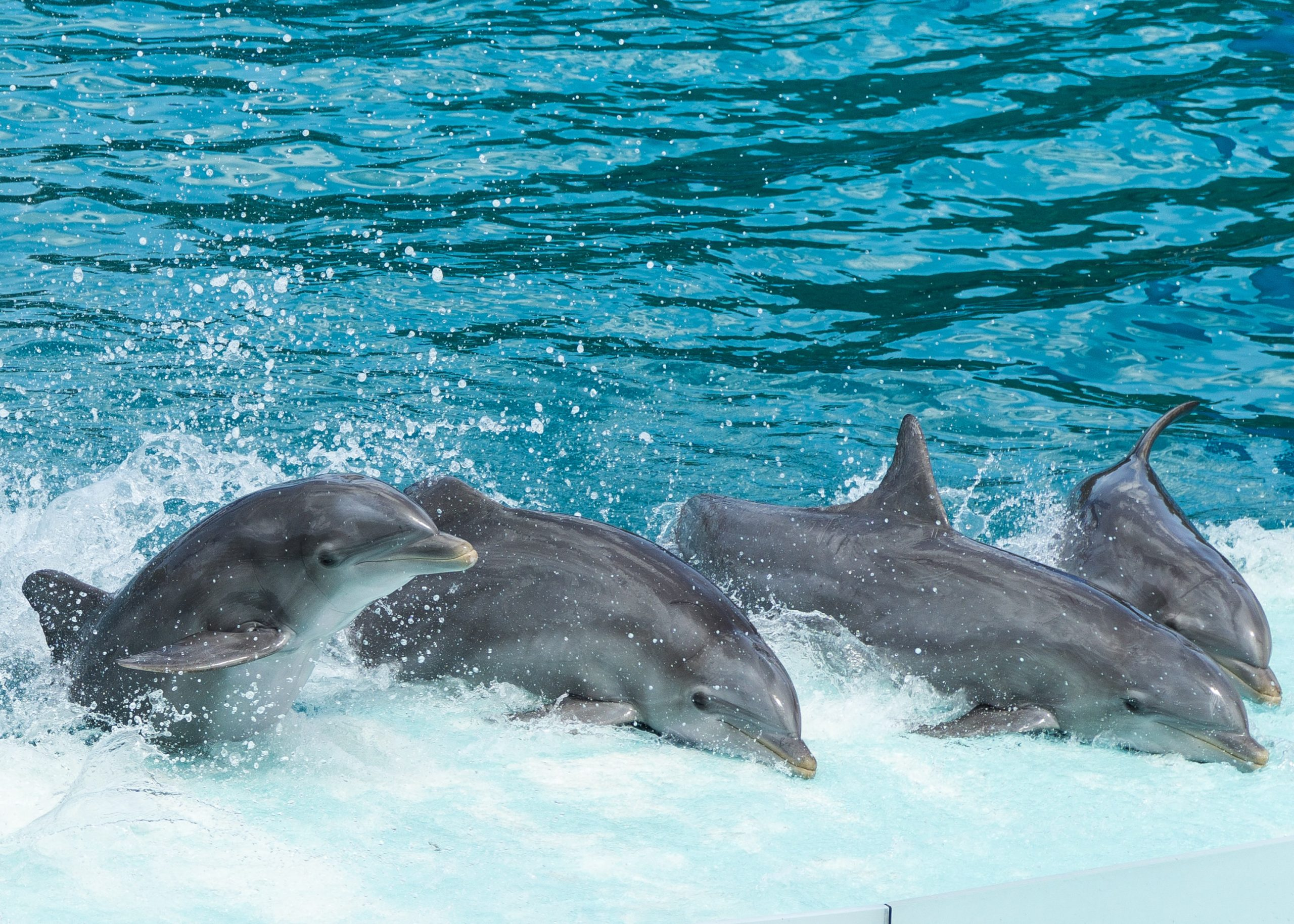 4 dolphins outside the water