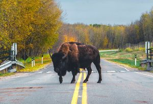 Bison blocking a country road. by Yann Allegre